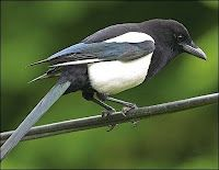 One for sorrow, two for joy;  Three for a girl, four for a boy;  Five for silver, six for gold;  Seven for a secret, never to be told;  Eight for a wish, nine for a kiss;  Ten for a bird that's best to miss.    Or the older version:    One for sorrow, two for mirth,  Three for a wedding, four for a birth,  Five for silver, six for gold,  Seven for a secret not to be told.  Eight for heaven, nine for hell,  And ten for the devil's own sel'.