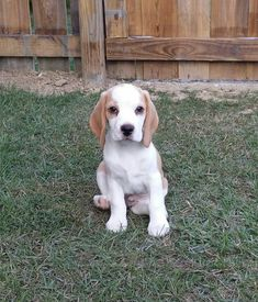 Louis Brody 10 Weeks - Red and White Beagle