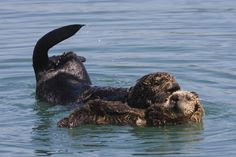 Two researchers from the University of California, Santa Cruz have suggested that sea otters could play a significant role in the fight against global warming. A healthy population of otters would lead to a reduction in sea urchins—which the otters feed on—and thus allow kelp forests to prosper. Kelp is often consumed by sea urchins, but if enabled to grow to maturity the plant could absorb as much as 12 times the amount of CO2 from the atmosphere than it does at its current rate.