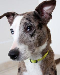 Catahoula Leopard Dog dog for Adoption in Eden Prairie, MN. ADN-451539 on PuppyFinder.com Gender: Female. Age: Adult