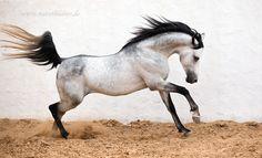 Arabian Stallion Amir Sandy Klembt, Germany  www.naturbildniss.de