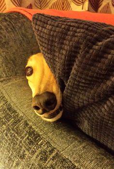 My lovely Bonnie greyhound . Magyar Agar, Greyhound Pictures, Lurcher, Grey Hound Dog, Baby Puppies, Corgi Puppies, Italian Greyhound, Beautiful Dogs, Dog Life