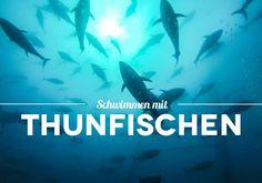 Schwimmen mit Thunfischen – Wie ich mich zu den Meeresriesen ins Wasser stürzte