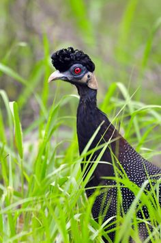 Crested Guinea Fowl #SouthAfrica