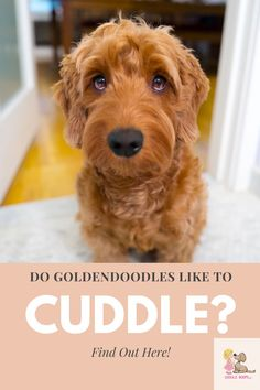 Just to simply say yes would be the understatement of the decade. There is good reason they are often referred to as real, live teddybears. We published an entire article on this subject you can read from right here if you would like to know all of the details.