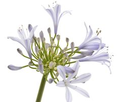 Agapanthus are those staples that have been around in gardens for generations, and continue to be popular with landscapers! Read more with Lifestyle. Agapanthus Plant, Agapanthus Blue, Flowering Plants, Planting Flowers, African Lily, Seaside Garden, Herbaceous Border, Extreme Heat