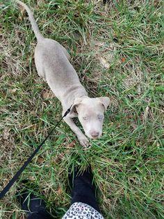 My baby Kilo Blue Fawn Pitbull, Pitbulls, Baby, Animals, Animales, Pit Bulls, Animaux, Pitbull, Animal