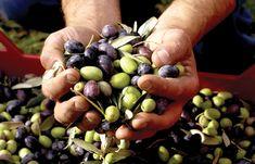 Italy - Lazio - Oil and olives from Sabine - Olio extra vergine di oliva Sabina DOP