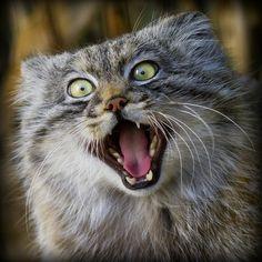 Pallas cat | Pallas's cat is best fangirl
