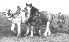 PH/17/13/2 Black and white photograph showing 2 horses and a man ploughing the fields at Moss Nook Farm, Rainford, Lancashire c.1950s. . . . . PH - Photographic collections 17 - Photographic collections that were created by individual depositors 13 - Photographs showing Moss Nook Farm, Rainford, Lancashire