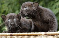 Curious cats: It's hard to imagine that these little fellows would ever grow up to be one of the jungle's apex predators