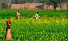 Photos of Pakistani Villages, Pakistani Village Life - Two Villagers on Bicycles and a girl in Mustard Fields - Pictures of Pakistani Villages