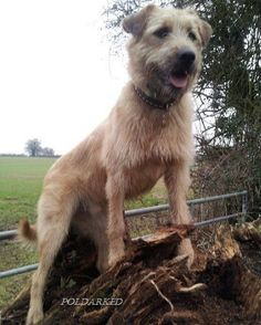 Barley, #Poldark's Stunt Dog #Garrick #Demelza - video http://www.poldarked.com/2015/10/barley-poldarks-stunt-dog.html …