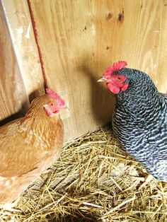 chickens in winter-- without electricity - some of this was really helpful and I'm surprised we haven't thought of some of them.  It will make things easier on the boys, too.