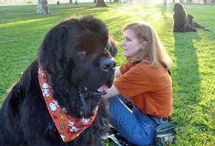 Newfoundland Dogs,, I want one!!!