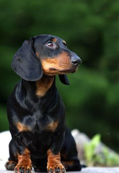 Alert and attentive, that's what a Dachshund is everyday. plus loving and sweet ♥ Dachshund Funny, Mini Dachshund, Dachshund Puppies, Chihuahua, Daschund, I Love Dogs, Cute Dogs, Black And Tan Dachshund, Miniature Dachshunds