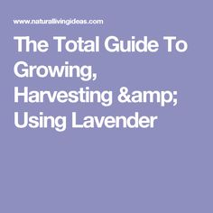 The Total Guide To Growing, Harvesting & Using Lavender Evergreen Plants, Lavender, Herbs, Trees To Plant, Growing, My Secret Garden, Harvest