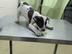 EU DATE MON 04/13/15-RESCUE ONLY - SUPER URGENT-This DOG - ID#A429726  I am a female, white and black Pit Bull Terrier mix.  My age is unknown.  I have been at the shelter since Apr 09, 2015.