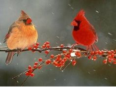 Female and male cardinal