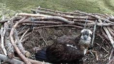 Osprey returns to Porthmadog Glaslyn nest for 15th year -  Osprey returns to Porthmadog Glaslyn nest for 15th year                                                                                                16 April 2018                                    Image copyright                  Glaslyn WildlifeImage caption                                      Mrs G after she returned to the nest earlier this month                                An osprey has returned to its nest for the 15th…