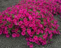 Petchoa Supercal Violet Petunias, Plants, Flowers, Plant, Planets