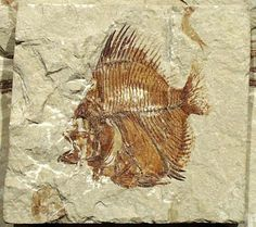 A fossilized fish.
