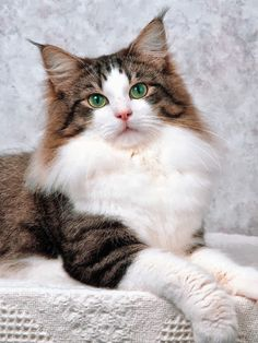 See more Norwegian Forest Cat History
