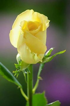 Pretty Roses, Beautiful Roses, Daisy Painting, Rose Art, Yellow Flowers, Yellow Things, Every Rose, Yellow Roses, Landscaping