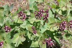 Heart-leaf Milkweed Plants