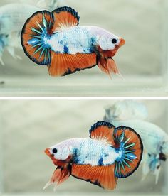Betta Fish (Betta splendens) aka Dragon Fancy Orange Halfmoon Plakat
