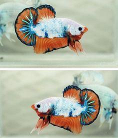 Betta Fish Morphs: Dragon Fancy Orange Halfmoon Plakat
