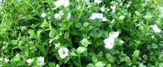 Veronica repens - Creeping Speedwell - Plantaginaceae