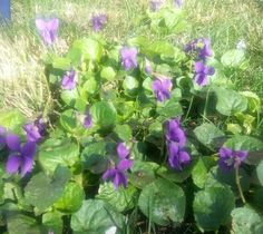my Australian violets know that it's spring in the Northern Hemisphere