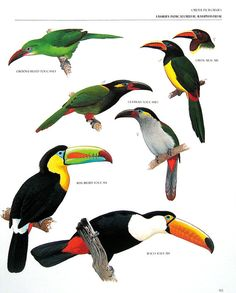 Vintage Bird Print - Groove Billed Toucanet, Green Aracari, Keel Billed Toucan, Toco Toucan - 1990 Vintage Book Page - 11 x 9