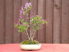 Dwarf Lilac Bonsai
