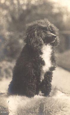 Vintage Poodle Dog Postcard PC England Rotary Photo c 1906