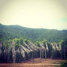 Sothy's pepper farm looks beautiful in the wet season #kampotpepper #cambodia#travel