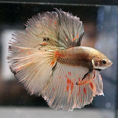 RARE!!!! Live Betta Fish Male COPPER ARMAGEDDON Halfmoon HM #007