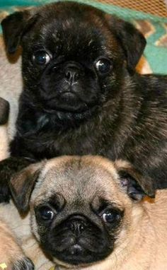"""Cute Fawn & Brindle Pug Puppies From your friends at phoenix dog in home dog training""""k9katelynn"""" see more about Scottsdale dog training at k9katelynn.com! Pinterest with over 18,000 followers! Google plus with over 119,000 views! You tube with over 350 videos and 50,000 views!!"""