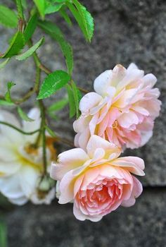 roses lose nothing of their elegance , they are still seduce us until next season ...
