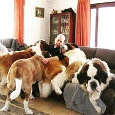 St. Bernards believe they are small lap dogs!  They are so loving!!!