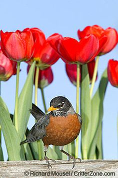 American Robin in tulips  - Michigan, Wisconsin, and Connecticut state birds