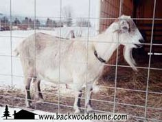 Kinder goats: A small breed for milk and meat by Kathleen Sanderson.  These sweet-tempered goats are perfect for a small homestead.