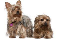 Yorkshire Terrier (petguide.com)