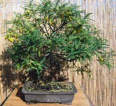 bonsai kowhai