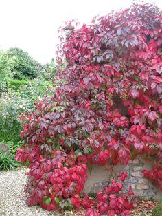 Parthenocissus = wingerd, klimplant, hechten zich met zuignapjes en zijn bekend om hun schitterende herfstkleur.