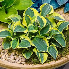 3 Hosta /'Justine/'® tetraploid sport of Hosta June Fever garden plant ex 9cm pots