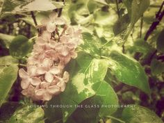 Vintage Lilacs by Janey on SnapThePlanet.com Glass Photography, Photo Hosting, Lilacs, My Photos, This Is Us, Floral, Plants, Vintage, Lilac Bushes