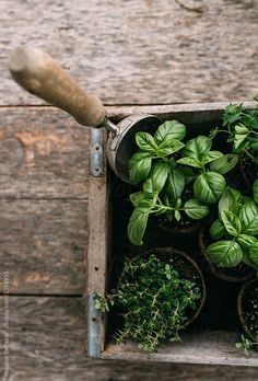 planting herbs / green and brown tones / beige colors / neutrals / rustic country photography / gardening mood / farmhouse aesthetic Herb Garden Design, Diy Herb Garden, Vegetable Garden, Garden Plants, Indoor Plants, House Plants, Plants Are Friends, Green Life, Dream Garden