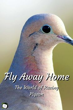 Racing Pigeon and the People Who Race and Home Them